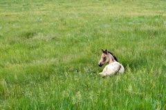 Foal In Green Pasture. Buckskin quarter horse filly lying in green lush pasture. credit line: Copyright: Becky Hermanson royalty free stock image