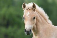 Foal Haflinger πορτρέτο, νότιο Τύρολο, Ιταλία Στοκ εικόνες με δικαίωμα ελεύθερης χρήσης