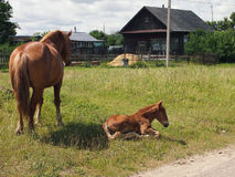 The foal Royalty Free Stock Images