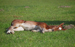 A foal has a rest Stock Photo