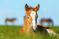 Foal having a rest in the pasture. royalty free stock images