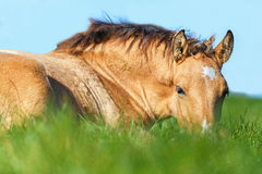 Foal having a rest on the pasture. Royalty Free Stock Images