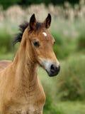 Foal Headshot di Lingua gallese Fotografie Stock Libere da Diritti