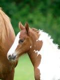 Foal Headshot Stock Photos