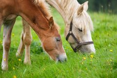 Foal with her mother. On the meadow in summer Royalty Free Stock Photo
