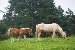 Foal with her mother. On the meadow in summer Stock Photography