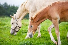 Foal with her mother. On the meadow in summer royalty free stock images
