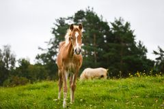 Foal with her mother. On the meadow in summer Royalty Free Stock Image