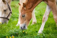 Foal with her mother. On the meadow in summer stock image
