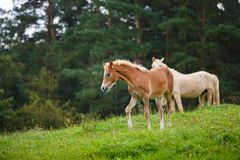 Foal with her mother. On the meadow in summer stock photo