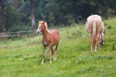 Foal with her mother. On the meadow in summer Royalty Free Stock Photos