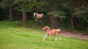 Running horses on the meadow. Foal with her mother is running along the meadow in summer stock photography