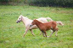 Running horses on the meadow. Foal with her mother are running along the meadow in summer royalty free stock photos