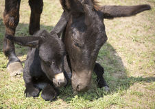 Foal with her mother Royalty Free Stock Photo