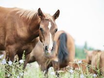 Foal with herd at the pasture Stock Photography