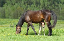 Foal hidden Royalty Free Stock Images