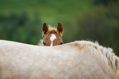 Foal with her mother. The foal is hiding behind a mother`s back in a meadow Royalty Free Stock Photos