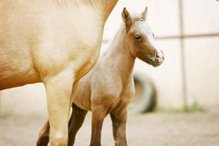 Foal with his mother. Palomino foal with mother closeup Royalty Free Stock Photo