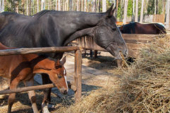 Foal and his mother Royalty Free Stock Images