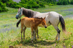 Foal and his mother Horse, breastfeeding Stock Image