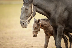 Foal with his mother. Horse with colt on grassland Stock Photo