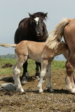 Foal and horse Stock Images