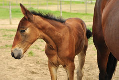 Foal and horse Royalty Free Stock Images