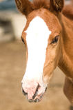 Foal Horse Stock Photo