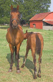 foal horse Arkivbilder