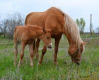 foal horse Arkivfoton