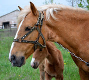 foal horse 图库摄影