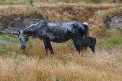 foal horse 免版税图库摄影