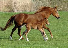 foal horse Στοκ Εικόνες