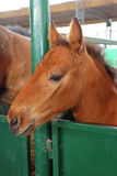 Foal Horse Stock Image