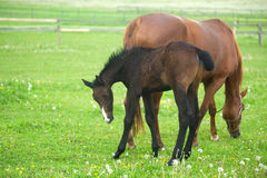 Foal and horse in field Royalty Free Stock Photos