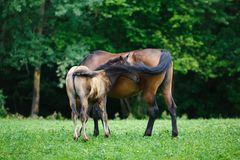 Foal horse with her mother Stock Photos