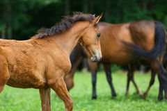 Foal horse with her mother. On the meadow at summer time stock photo
