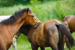 Foal horse with her mother. On the meadow at summer time royalty free stock images