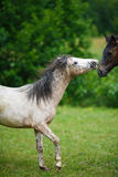 Foal horse with her mother. On the meadow at summer time Stock Photos