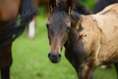 Foal horse with her mother. On the meadow at summer time stock image