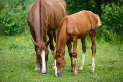 Foal horse with her mother. On the meadow at summer time Royalty Free Stock Photo