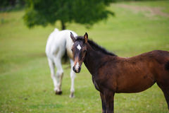 Foal horse with her mother. On the meadow at summer time stock images