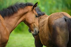 Foal horse with her mother Stock Images