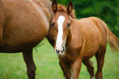 Foal horse with her mother. On the meadow at summer time royalty free stock photography