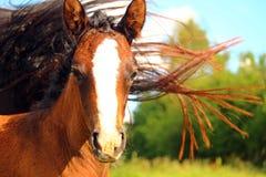 Foal, Horse, Mane, Brown, Suckling Royalty Free Stock Image