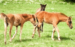 Foal Horse. Photo for a design Stock Photo