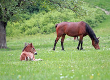 Foal Horse resting Royalty Free Stock Images