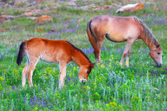 Foal and horse on a spring meadow. Royalty Free Stock Image