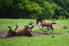 Free Foal Horse With Her Mother Stock Photos - 56075303