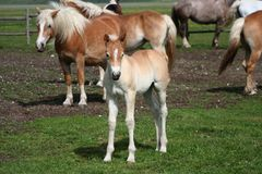 Foal and horses Royalty Free Stock Images